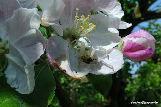 Photo: Veränderliche Krabbenspinne in einer Apfelbaumblüte