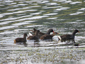 Photo: 26 Aug 13 Priorslee Lake With three of them being gently herded away from me. (Ed Wilson)