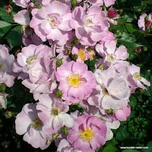 Photo: Bodendecker Lavender Dream®, Züchter: Interplant 1985