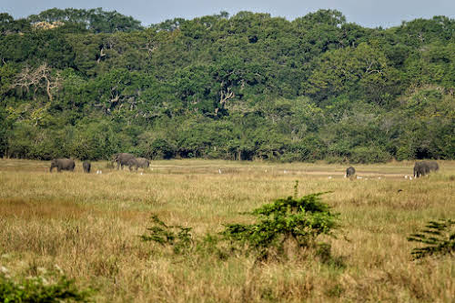 Sri. Lanka Wilpattu National Park . Elephant herd