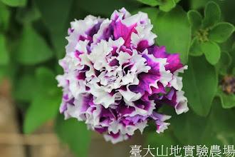 Photo: 拍攝地點: 春陽-可愛植物區 拍攝植物: 重瓣矮牽牛 拍攝日期: 2013_12_20_FY