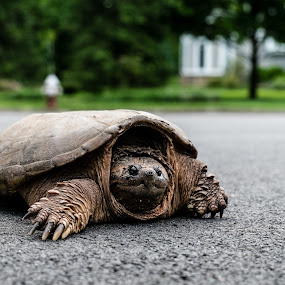 Snapping Turtle by Lisa Mirante - Animals Reptiles ( turtle )