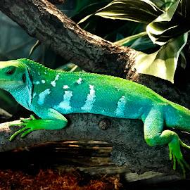Rare Fijian Iguana by Rick Luiten - Animals Reptiles (  )