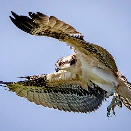 Osprey in Flight by Debbie Quick - Animals Birds ( raptor, crown point, nature, adirondacks, osprey, debs creative images, new york, birds of prey, outdoors, bird, animal, wild, wildlife,  )