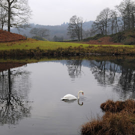 Swan on the Brathay by DJ Cockburn - Landscapes Waterscapes ( cumbria way, forest, britain, rural, winter, mute swan, scenic, branch, scene, swimming, lake district, view, uk, bird, river brathay, cygnus olor, marsh, wildlife, england, reflection, wetland, nature, countryside, tree, deciduous, water, waterfowl, waterscape, river, cumbria, landscape )