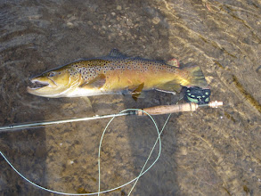 Photo: Customer Bill Rice sigh fished this late Summer beast on the Mad River- fishes well through the heat!