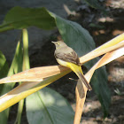 Wagtail (Western yellow?)