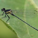 Black Marsh Dart Damselfly