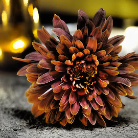 Autumn Glow by Gillian James - Flowers Single Flower ( illuminated, chrysanthemum, brown, light, flower )