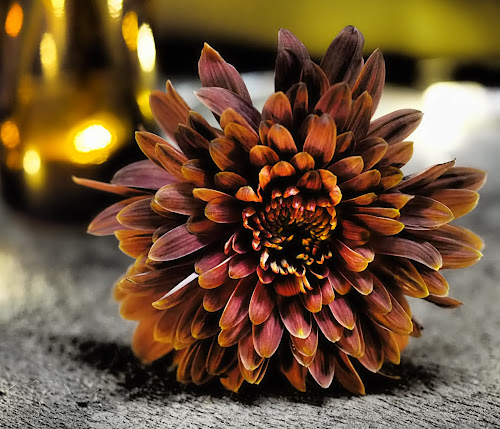 Autumn Glow by Gillian James - Flowers Single Flower ( illuminated, chrysanthemum, brown, light, flower )