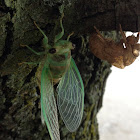 cicada adult and nymph casing