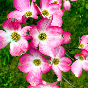 In the Pink by Chris Montcalmo - Flowers Tree Blossoms ( spring, flowers, pink, blossom, nature, flower )