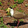 Yellow- wattled Lapwing