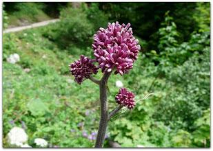 Photo: adenostyles glabra ssp. alpina (Grüner Alpendost)  - Fundort: Haller Mauern Süd