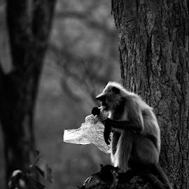 Monkey with a bag by Pravine Chester - Black & White Animals ( monkey, monochrome, black and white, animals, wildlife )