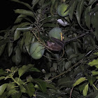 Indonesian short-nosed fruit bat