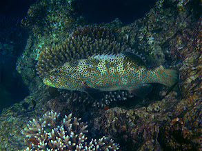Photo: squaretail coral grouper