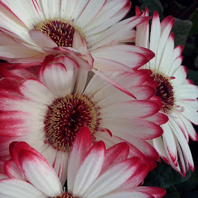 by Corali Reciful - Flowers Flower Gardens (  )