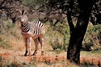 Photo: Zebra in the Mokala National Park
