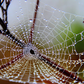 One more Web by Shrikrishna Bhat - Nature Up Close Webs ( , web, spiderweb )