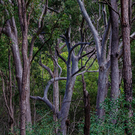 In the Trees by Ruth Tomlinson - Landscapes Forests ( forest, leaves, bark, branches, trees, landscape,  )