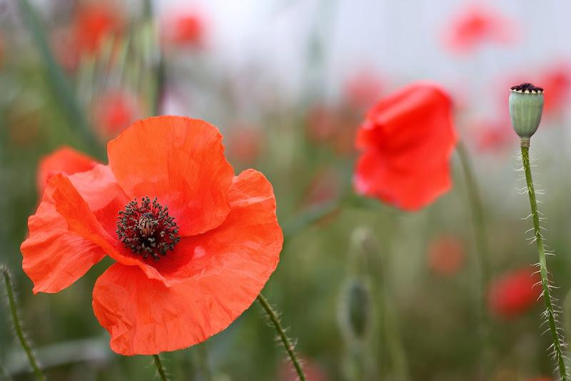 red poppies di rino_savastano
