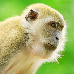Monkey with intense stare by Ben Heys - Animals Other Mammals ( look, wild, jungle, green, outdoor, stare, intense, wildlife, primate, outside, monkey, animal )