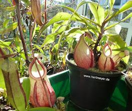 Photo: Nepenthes mirabilis var. globosa