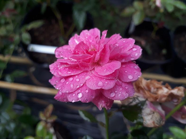 Hồng sọc tím Blue Boy rose có đường kính hoa trung bình 5-6cm
