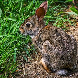 Backyard Rabbit.jpg