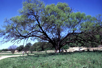 Photo: Here's what the tree looked like several years ago....