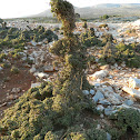 Kermes oak (πουρνάρι)