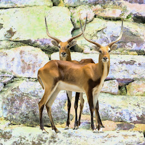 Deers  by Fabienne Lawrence - Animals Other Mammals ( deer, mountains, deers, antlers, mou9ntains )