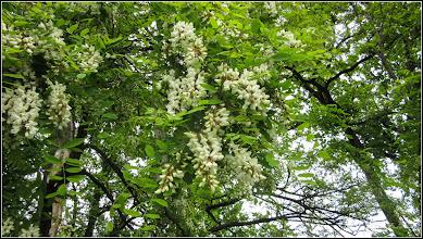 Photo: Salcâm (Robinia pseudoacacia) - din Turda, Parcul Central - 2019.05.16