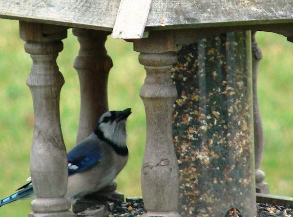 Squirrel Deterrent From Your Bird Feeder Recipe