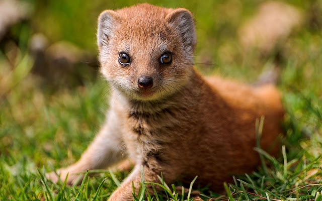 Mongoose - New Tab in HD