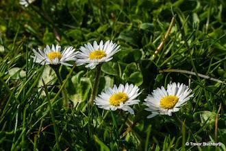 Photo: Daisies