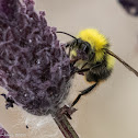 Carder Bee