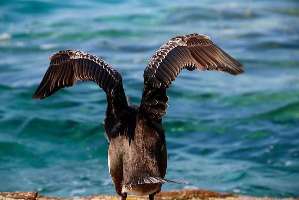 Il cormorano si prepara... a salire. di Benjaminb