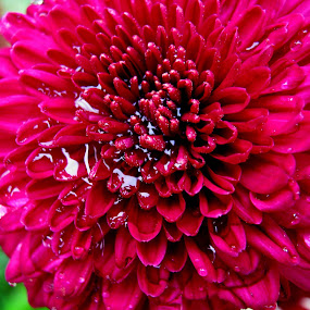 Flower After Shower........ by Dipan Chaudhuri - Nature Up Close Flowers - 2011-2013