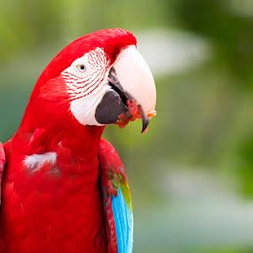 Macaw by Pravine Chester - Animals Birds ( bird, brazil, animals, nature, wildlife, birds, macaw )