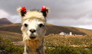 Photo: la llama loca de timalchaca.