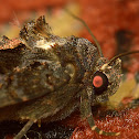 Looper moth30