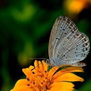 Grass blue butterfly on yellow flower.jpg