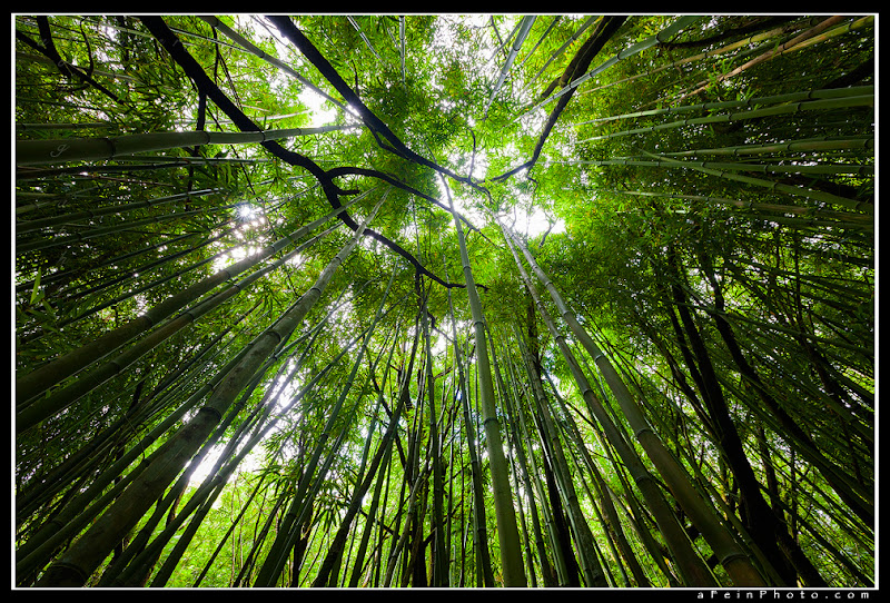 """Photo: """"Bamboo Army""""  I love bamboo forests. I also love looking up in them and hearing them talk in the wind.  Thanks! aF"""