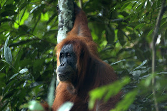 Photo: Jungle treking in the Gunung Leuser National Park
