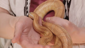 Speak Easy Sand Boa Club thumbnail