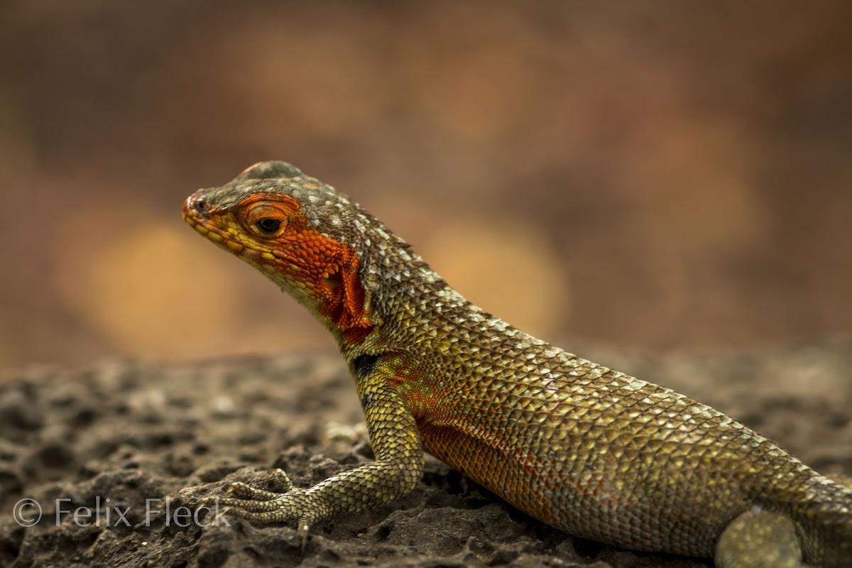 Galápagos Lava Lizard