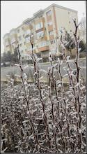Photo: Dracila (Berberis) - de pe Calea Victoriei, zona statie auto - 2017.02.18
