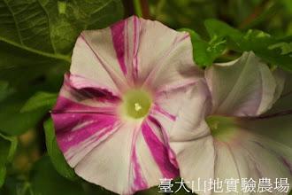 Photo: 拍攝地點: 春陽-可愛植物區 拍攝植物: 日本朝顏 大輪咲 拍攝日期:2013_07_30_FY